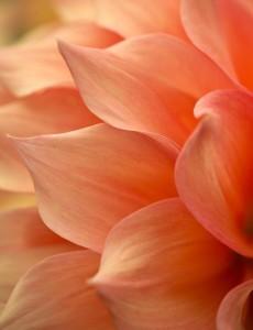 petals - Copy